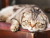 Cat relaxes lying on a chair — Stock Photo