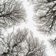 Stock Photo: Isolated snowy tree branches