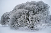 Salix fragilis (brittle willow) trees covered with snow — Stock Photo