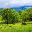 Spotted cow grazes on green meadow with flowers near mountains and hills — Stock Photo