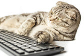 Serious striped cat Scottish Fold works lying at the computer — Stock Photo