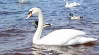 White swans on the river — Stock Video