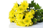 Beautiful chrysanthemum flowers — Stock Photo