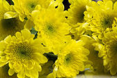 Beautiful chrysanthemum flowers — Стоковое фото