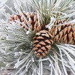 Frosted Pine Cones & Needles — Stock Photo