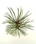 Mountain pine — Stock Photo