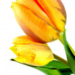Royalty-Free Stock Photo: Tulip