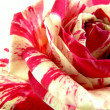 Two colored rose — Stock Photo