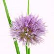 Stock Photo: Chive blossom