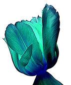 Tulip abstract — Stock Photo