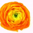 Ranunculus — Stock Photo #40562237