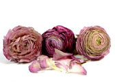 Wilting ranunculus — Stock Photo