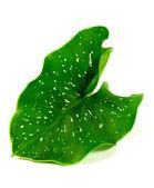 A calla leaf — Stock Photo