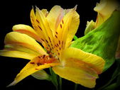 Incas lily — Stock Photo