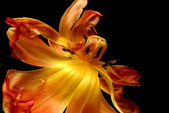 Wilting tulip — Stock Photo