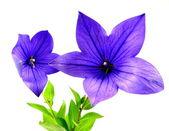 Blue balloon flower — Stock Photo
