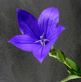 Blue balloon flower — Stock Photo