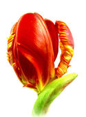 Parrot tulip — Stock Photo