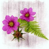 Cosmea with whisk — Stock Photo
