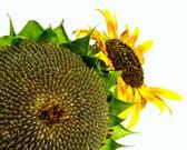 Wilting sunflower — Stock Photo