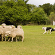 Sheep dog - Stock Photo
