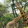 Stock Photo: Giraffe family