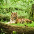 Resting tiger - Stock Photo