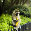 Monkey with banana — Stock Photo #20797339