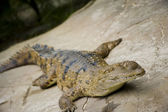 Crocodile — Stock Photo