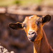 Royalty-Free Stock Photo: Goat