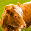 Brown cow — Stock Photo #26720297