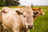 Vache blanche — Photo