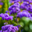 Purple blossoms — Stock Photo