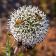 Bees on a flower — Stock Photo