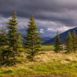 Icelandic landscape with conifers — Stock Photo
