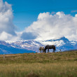 Two Icelandic horses on a meadow — Foto Stock