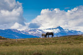 Two Icelandic horses on a meadow — Stock Photo