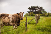 Pasture with brown cow — Stock Photo