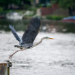 Flying heron — Foto Stock