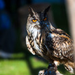Eagle owl — Stockfoto