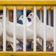 Stock Photo: Doves