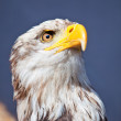 Eagle — Stock Photo