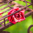 Red rose — Stockfoto