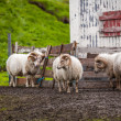 Icelandic sheep — 图库照片