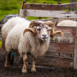 Foto Stock: Icelandic sheep