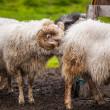 pecore islandesi — Foto Stock