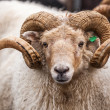 图库照片: Icelandic sheep