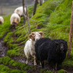 Islandská ovce — Stock fotografie