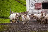 Oveja islandesa — Foto de Stock