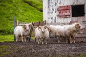Moutons islandais — Photo